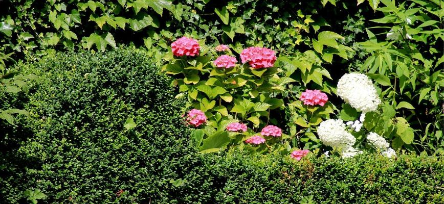 Maintaining garden hedges